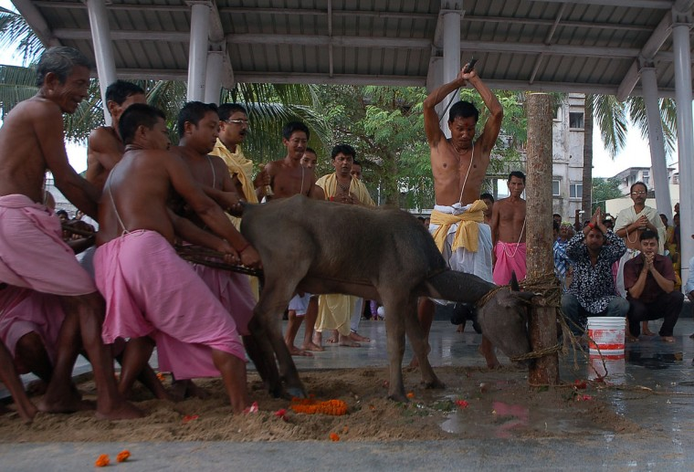 Hindu devotees prepare to sacrifice a buffalo calf as part of a ritual during the Durga Puja festival in Agartala, capital of the northeastern state of Tripura. The festival is one of the most popular for Bengali Hindus, who believe that the goddess Durga symbolises power and the triumph of good over evil. (STR/AFP/Getty Images