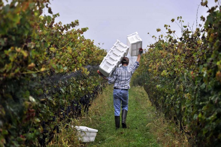 Victor Manuel carries bins down a row of Cabernet Sauvignon grapes on one of the last days of the harvest at Black Ankle Vineyards. (Kim Hairston/Baltimore Sun)