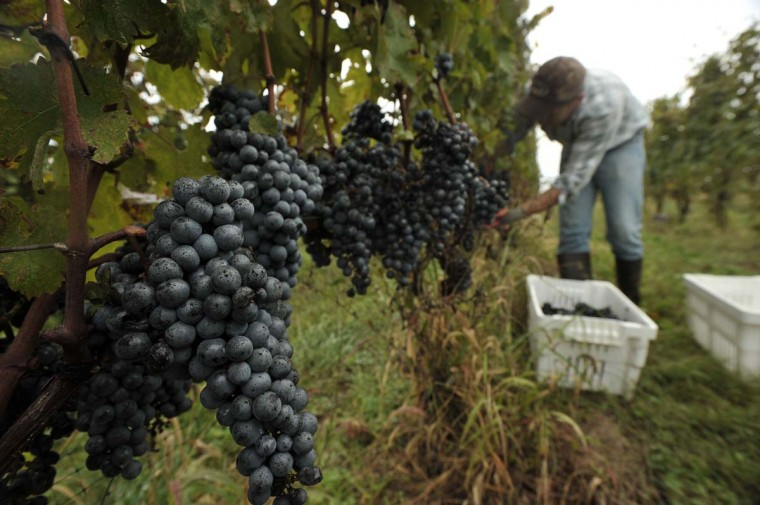 Victor Manuel picks Cabernet Sauvignon grapes in the last few days of the harvest at Black Ankle Vineyards. The grapes are hand picked into small hand-carried picking crates just when they have reached the peak of maturity. (Kim Hairston/Baltimore Sun)