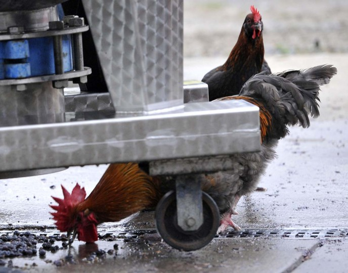 Chickens wander in the pressing area at Black Ankle Vineyards try to eat grapes that have fallen to the ground. Little goes to waste on the farm. (Kim Hairston/Baltimore Sun)