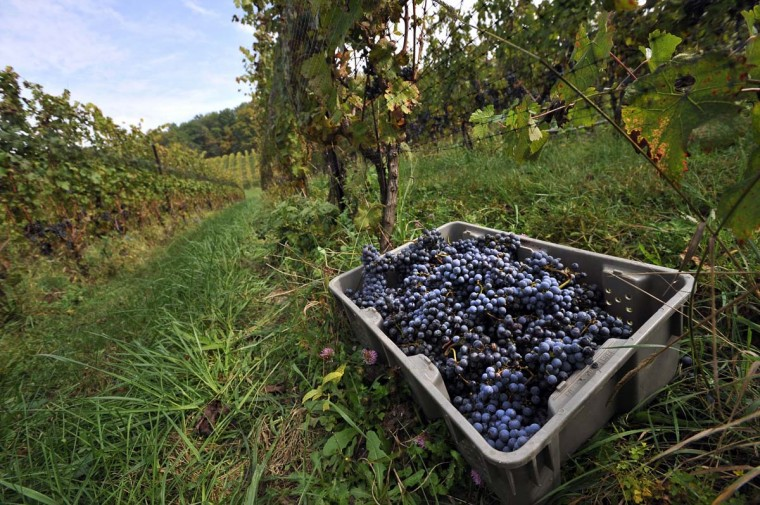 Freshly picked Cabernet Sauvignon grapes at Black Ankle Vineyards. There are approximately 800-900 grapes in each bottle of wine. (Kim Hairston/Baltimore Sun)