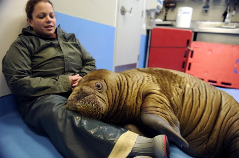 Shawna Gallagher, of the Indianapolis Zoo, spends time with Pakak,. The Alaska SeaLife Center in Seward has been caring for two orphaned walruses in recent months. Both were discovered near Barrow in summer. The animals will soon move to new homes at zoos in Indianapolis and New York. (Marc Lester/Anchorage Daily News/MCT)