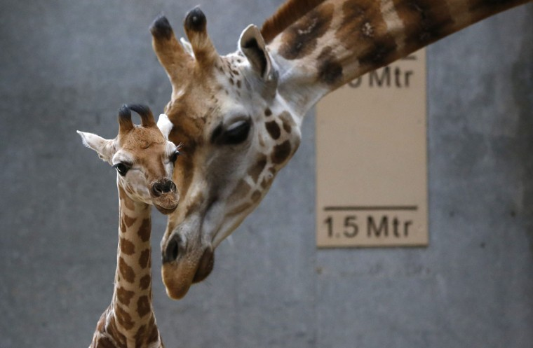 Dagmar, the Rothschild giraffe, nuzzles her newborn calf in their enclosure at Chester Zoo in Chester, northern England. (Phil Noble/Reuters)