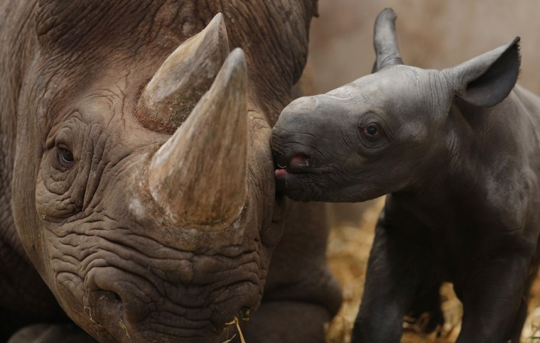 Ema Elsa, a nine-year-old Black Rhino, is nuzzled by her newborn calf in their enclosure at Chester Zoo in Chester, northern England. The female calf which is less than 48 hours old will join an international breeding programme for the critically endangered species. (Phil Noble/Reuters)