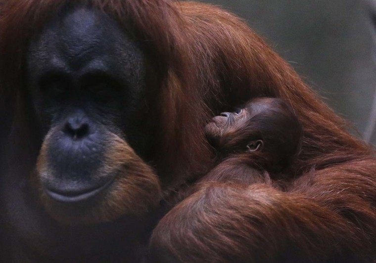 A three day old baby Sumatran Orangutan is held by her mother in their enclosure at Chester Zoo, northern England, October 22, 2012. (Phil Noble/Reuters)