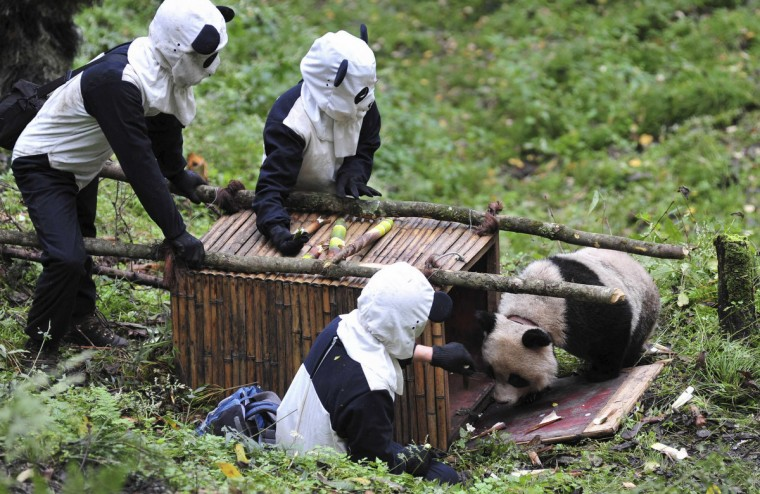 Researchers wait for giant panda Taotao to get into a cage, in Wolong National Nature Reserve, Sichuan province. Taotao and its mother Caocao were transferred down from a 2,100-meter high mountain to Hetaoping Research and Conservation Center for a health examination and to be prepared for reintroduction to the wild. Researchers wore panda costumes to ensure that the cub's environment was devoid of human influence, according to local media. (China Daily)