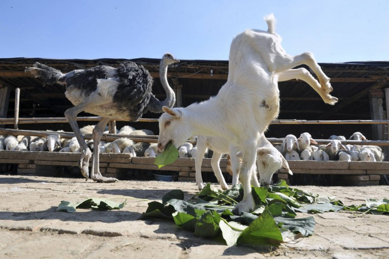 A goat stands on its two front legs as it eats leaves beside an ostrich in Shijiazhuang, Hebei province October 11, 2012. The 8-month-old goat, which was born with two deformed hind legs, learned to walk with only its front legs three days after birth, local media reported. (China Daily/Reuters)