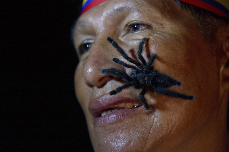 Gabriel Guallo of Ecuador's Quichua tribe stands with a tarantula on his face to demonstrate how he is planning to break a world record, in El Tena. Guallo hopes to carry 250 tarantulas on his body for 60 seconds during a special ceremony in February 2013 to break what he says is the existing record for most tarantulas carried on the body (240 tarantulas for 30 seconds). (Guillermo Granja/Reuters)