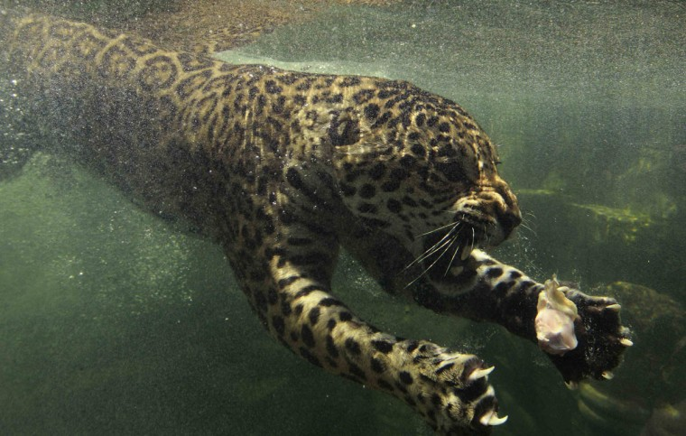 A jaguar swims towards his food that was dropped in the water during feeding time at Taman Safari Indonesia in Bogor, Indonesia West Java province. (Beawiharta/Reuters)