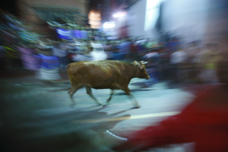 """A bull runs towards a crowd of devotees during the final day of the Indra Jatra Festival in Kathmandu. The annual festival, named after Indra, the Hindu god of rain and heaven, is celebrated by worshipping, rejoicing, singing, dancing and feasting in Kathmandu Valley to mark the end of monsoon season. The festival, during which Indra, the living goddess Kumari and other deities are worshipped, starts after the erecting of a """"lingo"""", a long wooden pole, on September 27 and ends after it is pulled down on October 3. (Navesh Chitrakar/Reuters)"""