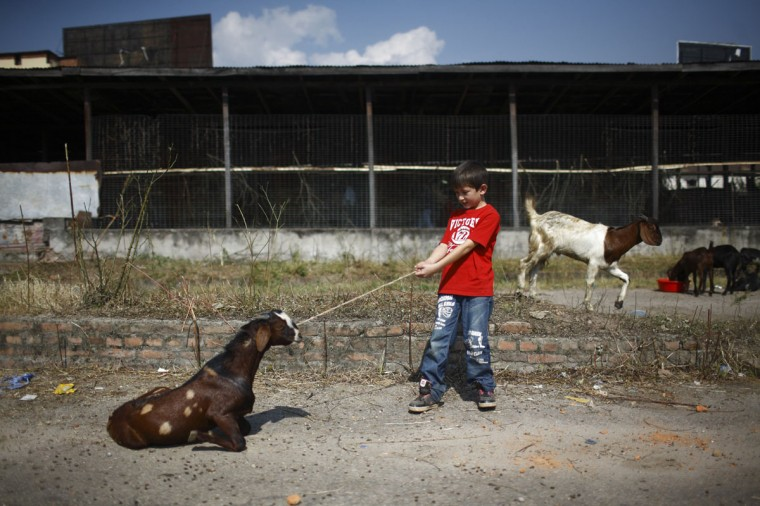 A boy pulls his goat after buying it at a livestock market during the first day of Dashain, Hinduism's biggest religious festival, in Kathmandu. Hindus in Nepal celebrate victory over evil during the festival by sacrificing animals and worshipping the Goddess Durga as part of celebrations held throughout the country. (Navesh Chitrakar/Reuters)