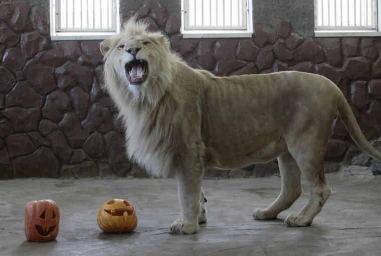Almaz, a three-year-old male white African lion, plays with a pumpkin inside his enclosure during the Zoo Halloween Weekend event at the Royev Ruchey zoo in Russia's Siberian city of Krasnoyarsk. Zoo employees held a competition for the best Halloween pumpkin, which were afterwards presented to the animals. (Ilya Naymushin/Reuters)