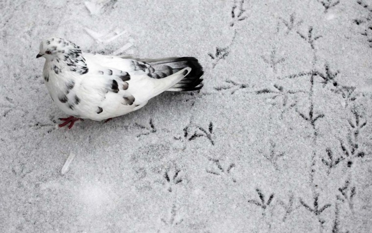 A pigeon leaves trails on snow covered ground outside Russia's Siberian city of Krasnoyarsk. (lya Naymushin/Reuters photo)