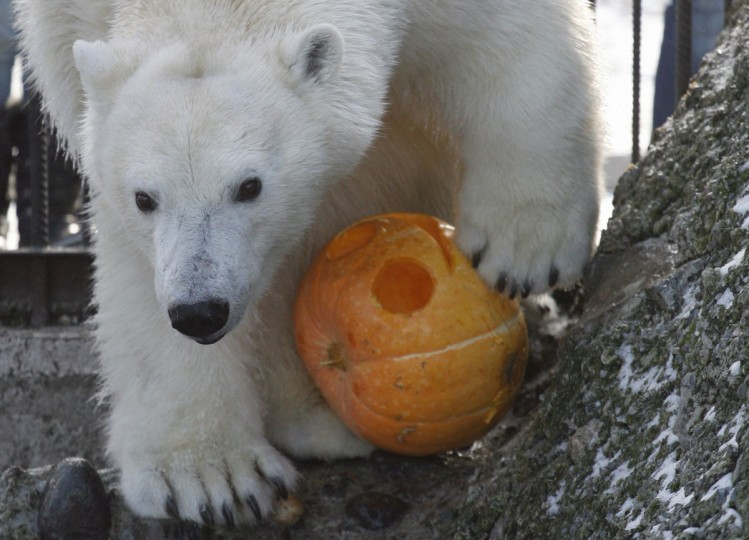 Aurora, a two-year-old female polar bear, plays with a pumpkin inside her open air cage during the Zoo Halloween Weekend event at the Royev Ruchey zoo in Russia's Siberian city of Krasnoyarsk. Zoo employees held a competition for the best Halloween pumpkin, which were afterwards presented to the animals. (Ilya Naymushin/Reuters)