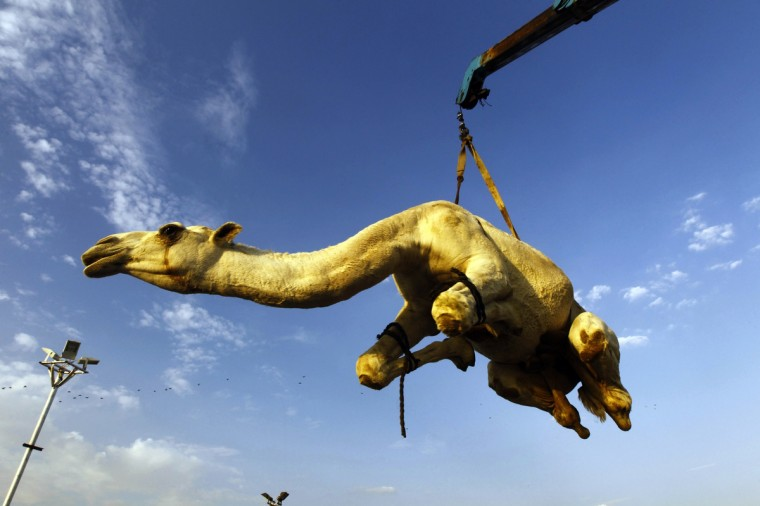 A camel that was purchased by a customer is lifted to be placed in a vehicle at a camel market near Riyadh. Muslims around the world are preparing to celebrate Eid al-Adha (feast of sacrifice), marking the end of the Haj, by slaughtering sheep, goats, cows and camels to commemorate Prophet Abraham's willingness to sacrifice his son Ismail on God's command. (Fahad Shadeed/Reuters)