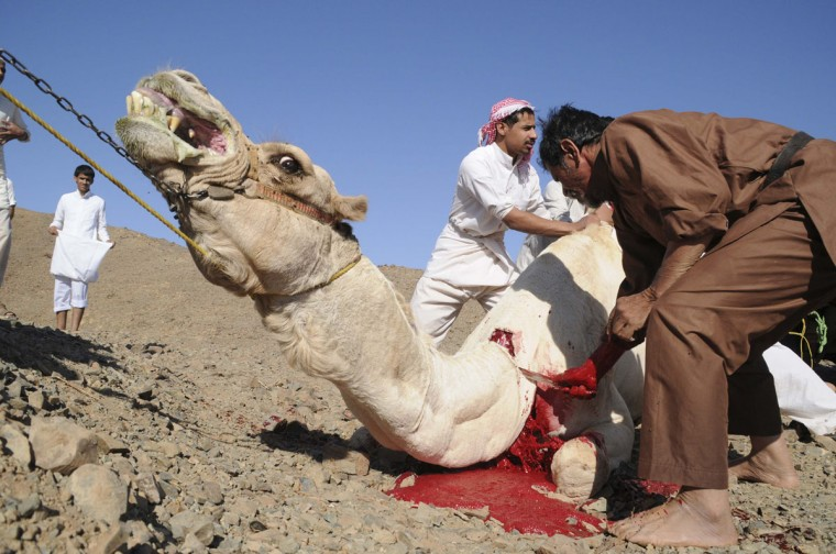 Saudis slaughter a camel on the first day of Eid-al-Adha in Tabouk, 1,500 km (932 miles) from Riyadh. Muslims around the world celebrate Eid-al-Adha to mark the end of the Haj by slaughtering sheep, goats, cows and camels to commemorate Prophet Abraham's willingness to sacrifice his son Ismail on God's command. (Mohamed Alhwaity/Reuters)