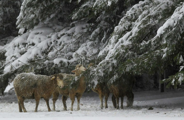 Sheep try to find food and shelter beside pine trees laden with heavy snow during a blizzard from Hurricane Sandy in Garrett County, western Maryland October 30, 2012. Millions of people across the eastern United States awoke to scenes of destruction wrought by monster storm Sandy, which knocked out power to swaths of the densely populated region, swamped New York's subways and flooded streets in Manhattan's financial district. (Gary Cameron/Reuters)