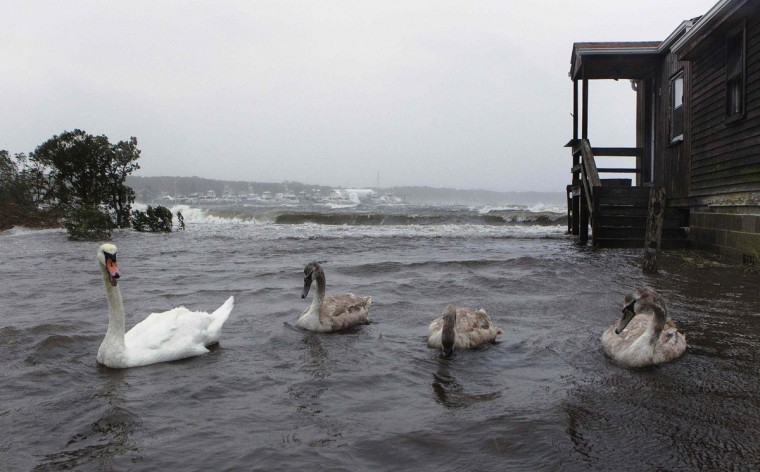 Swans swim in a yard that has been flooded by storm surf kicked up by the high winds from Hurricane Sandy in Southampton, New York October 29, 2012. Hurricane Sandy, the monster storm bearing down on the East Coast, strengthened on Monday after hundreds of thousands moved to higher ground, public transport shut down and the stock market suffered its first weather-related closure in 27 years.(Lucas Jackson/Reuters)