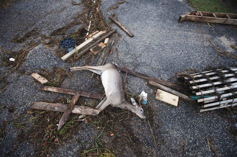 October 30, 2012: A dead deer is pictured with driftwood and debris left by a combination of storm surge from Hurricane Sandy and high tide in Southampton, New York. (Lucas Jackson/Reuters)