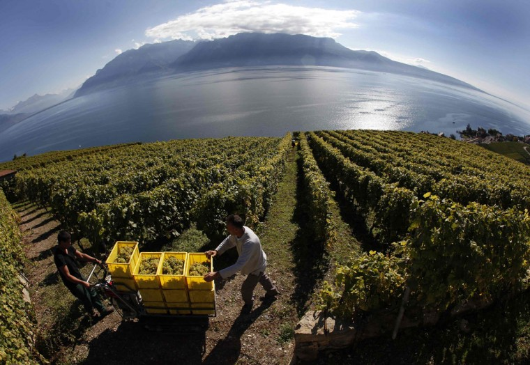 Grape pickers transport buckets above Lake Leman during the first days of the harvest in the Lavaux region in Chexbres. Chasselat for white wine and Pinot Noir for the red are the most popular grape varieties produced in the UNESCO Heritage listed Lavaux vineyard, which is made of 10,000 terraces started in the 12th century by monks covering 800 hectares between Lausanne and Vevey, Switzerland. Picture taken with a fisheye lens. (Denis Balibouse/Reuters)