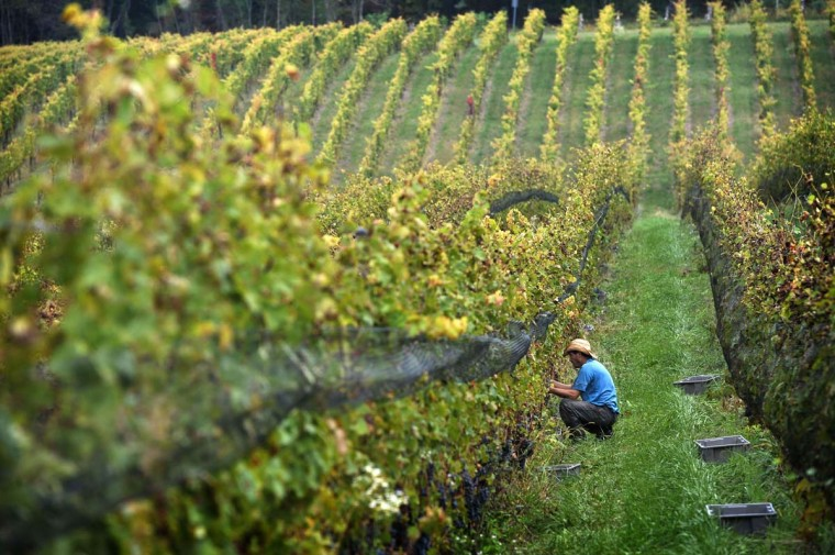 Black Ankle Vineyards in one of over 50 in Maryland. Among the 22 acres of bearing vines are seven varieties of red and four varieties of white. (Kim Hairston/Baltimore Sun)