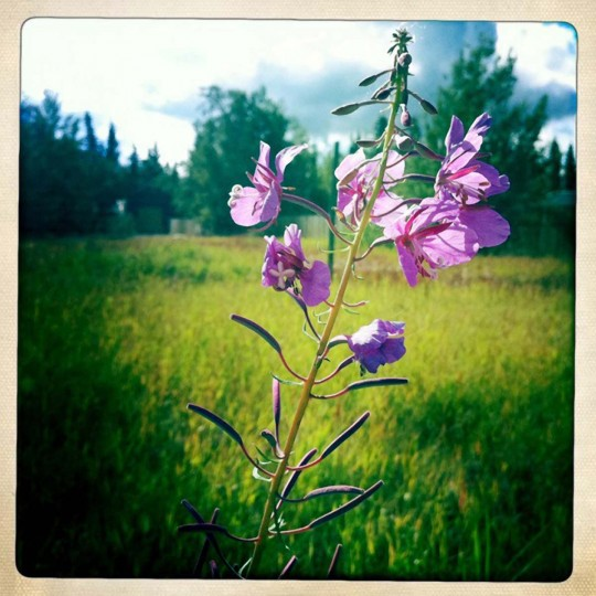 BEST CLOSEUP: This photo was taken with an iPhone 3G using a Hipstamatic app. It was taken at the Yukon Wildlife Preserve just outside of Whitehorse, in the Yukon Territory in Canada. (Photo by Joe Ford)