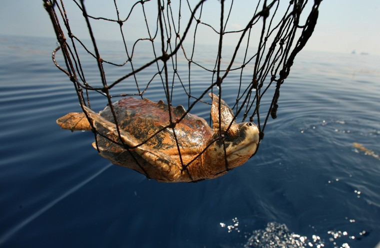 June 14, 2010 - One of 10 Kemp's Ridley turtles is recovered by a team of sea turtle experts who are working to recover oiled and endangered turtles. (Carolyn Cole/Los Angeles Times)