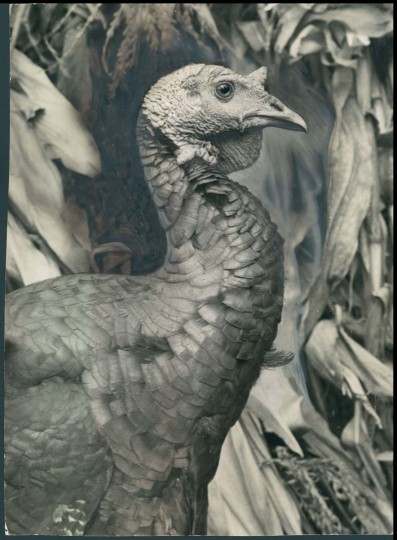 1936: What a handsome turkey. (A. Aubrey Bodine/Baltimore Sun)