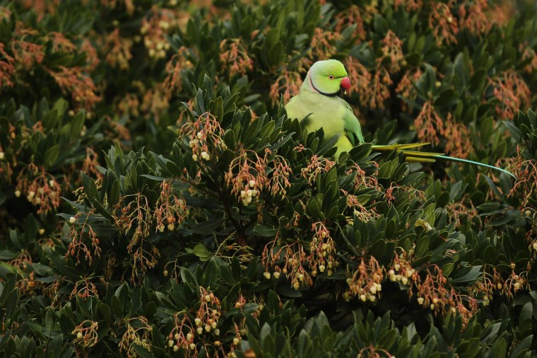 A parakeet sits in a bush in St James's Park on a cold winter's day in London, England. Weather warnings have been issued as temperatures start to fall below freezing across many parts of the UK. The cold snap follows recent, severe flooding, which has affected areas of Western and Northern England. (Dan Kitwood/Getty Images)