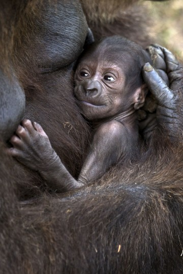 A newborn gorilla, named Ameli, is carried by her mother, Anya, at the Ramat Gan Safari, an open-air zoo near Tel Aviv. The baby gorilla, which was born two weeks ago, weighs approximately two kilograms. (Jack Guez/Getty Images)