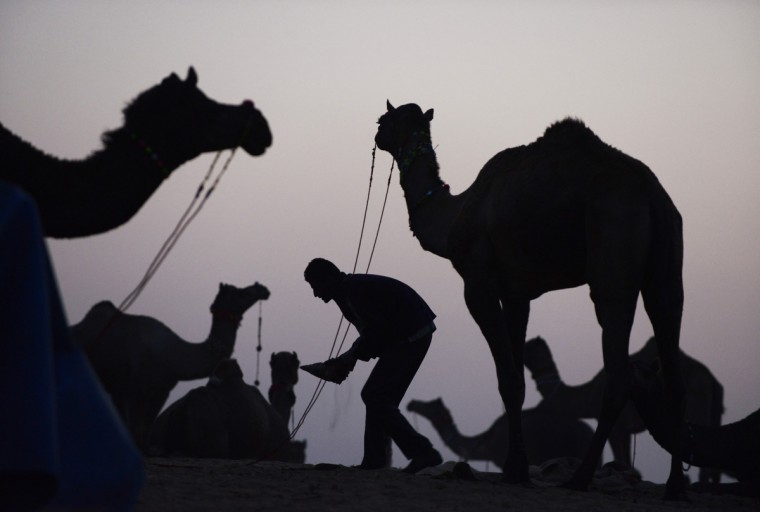 A man tends to his camels for sale on the outskirts of the small town of Pushkar in the early evening. The annual five-day camel and livestock fair, held in the town of Pushkar in the state of Rajasthan is one of the world's largest camel fairs, and apart from buying and selling of livestock it has become an important tourist attraction. (Roberto Schmidt/Getty Images)