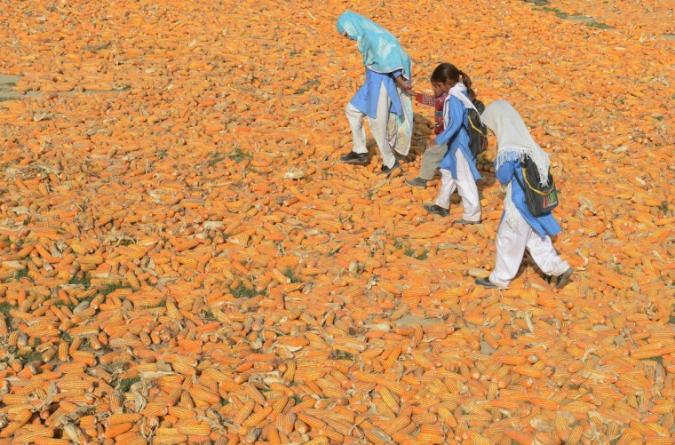 Pakistani schoolchildren walk over corn following the execution of Ajmal Kasab, who was hanged in an Indian prison, at Kasab's village in Farid kot, some 370 kilometres (230 miles) southeast of the Pakistani capital Islamabad. Farmers in the village of the Pakistani gunman executed Wednesday for the 2008 Mumbai massacre lashed out at India and hounded out journalists who asked about their notorious son. (Arif Ali/AGetty Images)