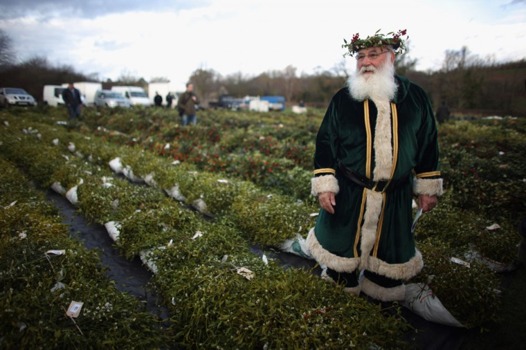 Green Santa, Michael Pritchard, wearing a crown of mistletoe and holly, walks among this year's crop of mistletoe at the annual Tenbury Wells Mistletoe Auction, on November 29, 2011 in Tenbury Wells, England. Ancient druids believed mistletoe had magical properties because of the way it grows, never touching the ground and without taking nourishment from the earth. Tenbury Wells has been the traditional mistletoe capital for over 150 years. Druids blessed this year's crop before buyers put their bids in for the festive plant. The tradition of kissing under the mistletoe at Christmas comes from the belief that mistletoe aids fertility. (Christopher Furlong/Getty Images)