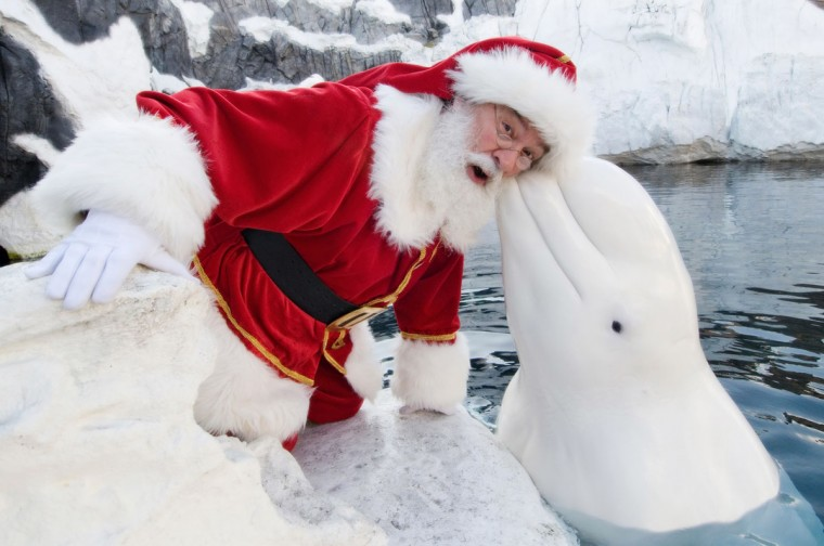 Santa Claus poses with a Beluga Whale at SeaWorld San Diego on December 15, 2011 in San Diego, California. (Mike Aguilera/SeaWorld San Diego via Getty Images)
