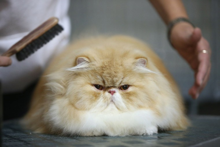Tizian, a persian cat, gets a last-minute brushing before judging at a cat competition at the pet trade fair (Heimtiermesse) at Velodrom in Berlin, Germany. (Sean Gallup/Getty Images)