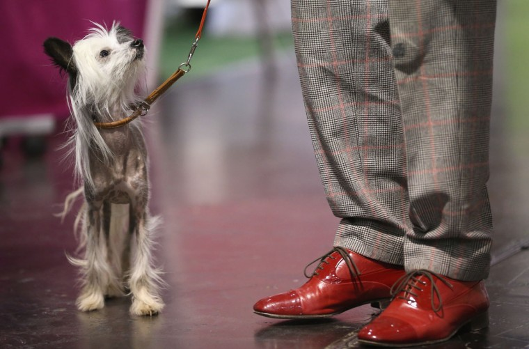 Hippie, a kind of nearly-hairless dog called a Chinese Crested, stands next to its owner at the pet trade fair (Heimtiermesse) at Velodrom in Berlin, Germany. (Sean Gallup/Getty Images)