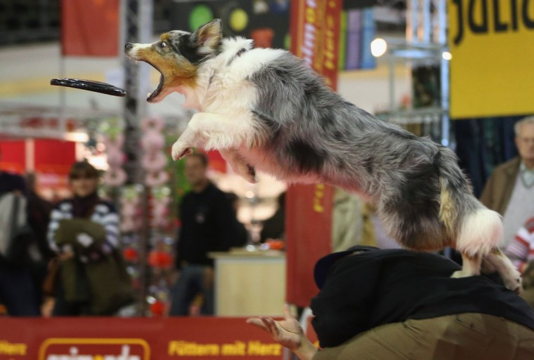 Summit, an Australian shepherd, makes a leaping catch of a frisbee while jumping off the back of dog trainer Juergen Bartz at the pet trade fair (Heimtiermesse) at Velodrom in Berlin, Germany. (Sean Gallup/Getty Images)