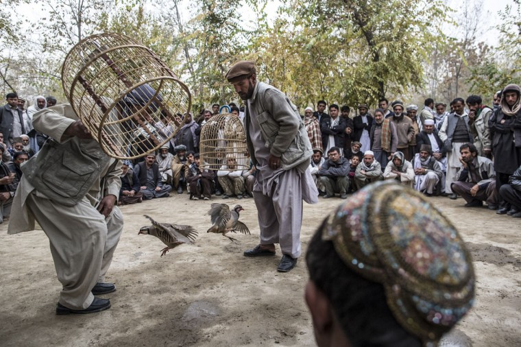 Afghan men watch Kowk Jangi (partridge fighting) in a park in Kabul, Afghanistan. The Kowk is a fighting partridge, prized by their owners who lavish great care on them, and keep them in domed wicker cages. The owners fight the partridges on Friday mornings in short bouts of strength, as the birds are too valuable to allow them to be seriously harmed, with spectators gambling on the result. (Daniel Berehulak/Getty Images)