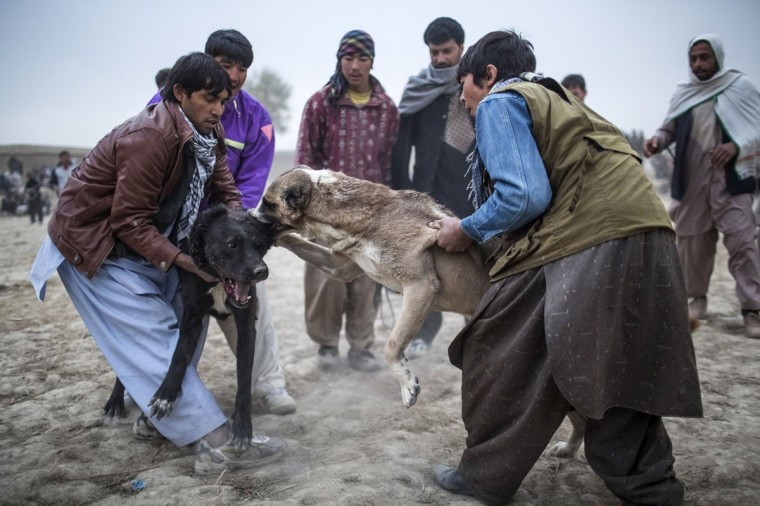 Afghan men pull apart two fighting mastiffs during the weekly dog fights in Kabul, Afghanistan. Dog fighting was banned under the Taliban for being un-Islamic but it is now common practice. (Daniel Berehulak/Getty Images)