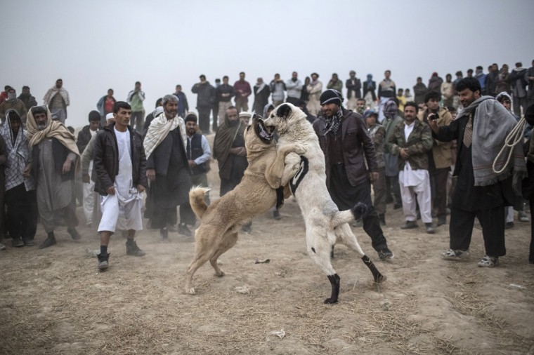 Afghan spectators watch as two fighting mastiff dogs attack each other during the weekly dog fights in Kabul, Afghanistan. Dog fighting was banned under the Taliban for being un-Islamic but it is now common practice. (Daniel Berehulak/Getty Images)