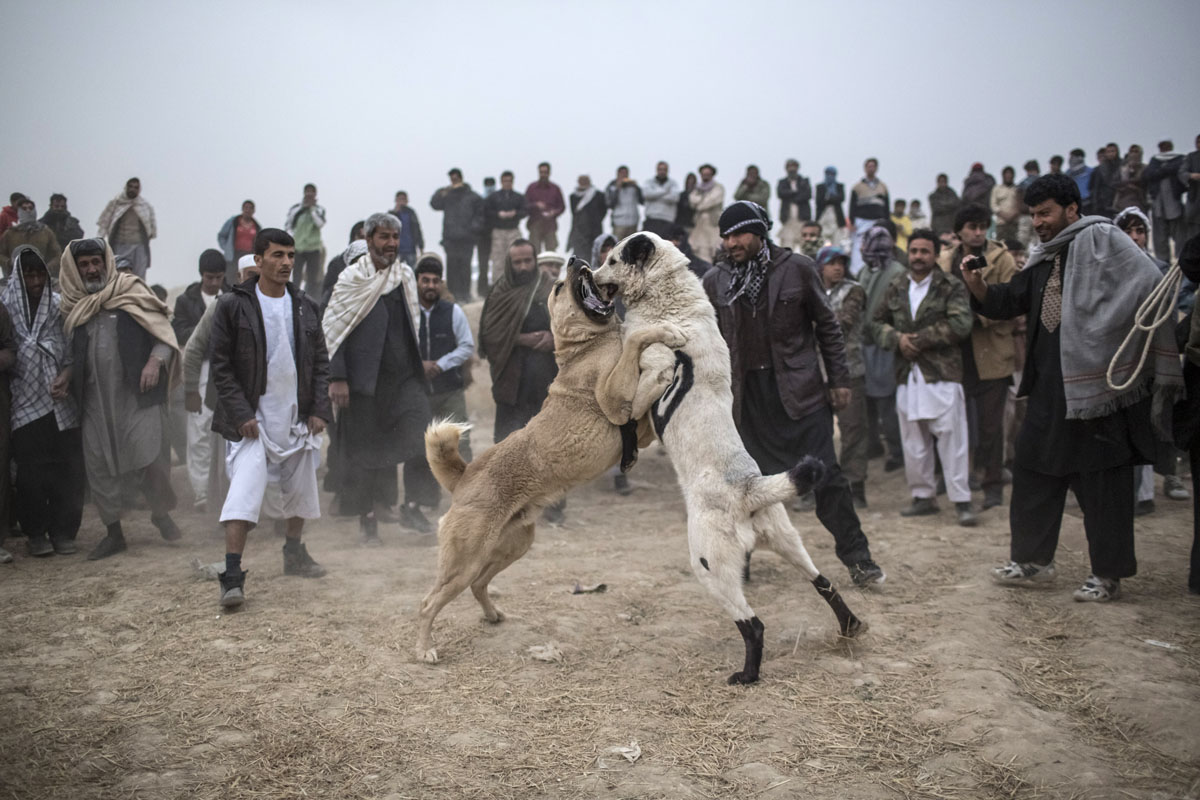 Afghan Fighting Dogs Breeds