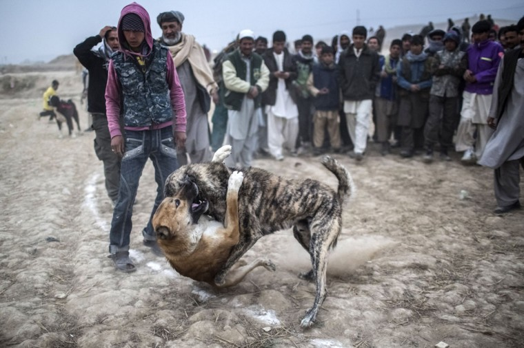 Afghan spectators watch as two fighting mastiff dogs attack each other during the weekly dog fights on November 16, 2012 in Kabul, Afghanistan. Dog fighting was banned under the Taliban for being un-Islamic but it is now common practice. (Daniel Berehulak/Getty Images)