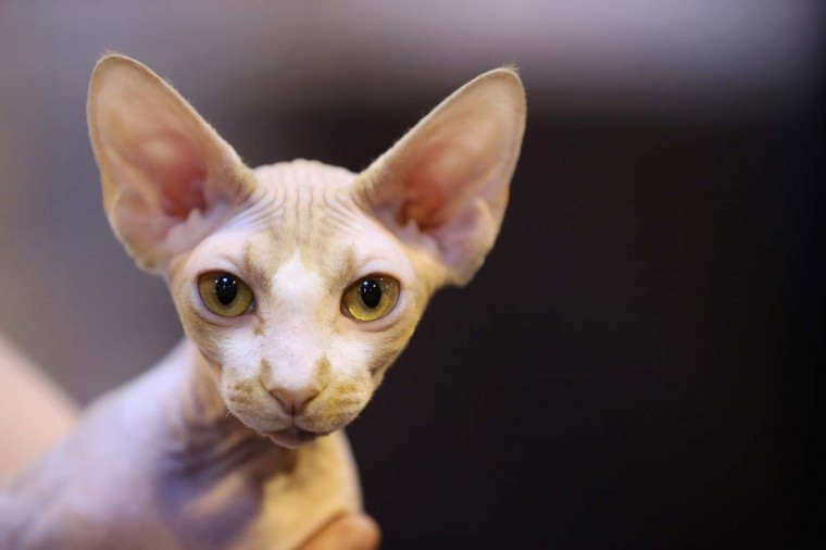 A sphynx cat is held at the Governing Council of the Cat Fancy's Supreme Championship Cat Show held in the NEC on November 24, 2012 in Birmingham, England. The one-day Supreme Cat Show is one of the largest cat fancy competitions in Europe with over one thousand cats being exhibited. (Oli Scarff/Getty Images)