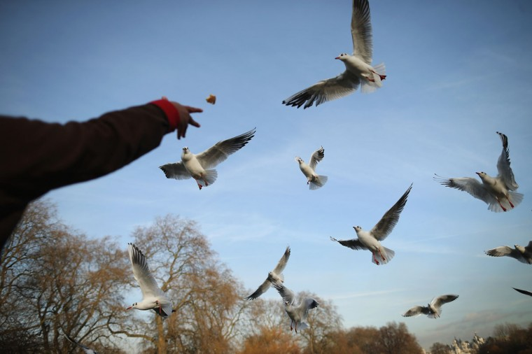 A man feeds Black Headed Gulls in St James's Park on a cold winters day in London, England. (Dan Kitwood/Getty Images) ORG XMIT: 153935089