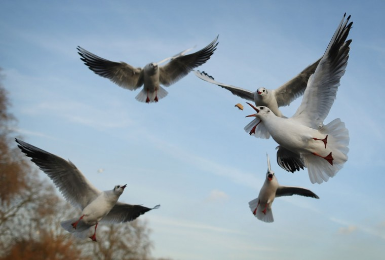 Black Headed Gulls are fed in St James's Park on a cold winter's day in London, England. (Dan Kitwood/Getty Images)