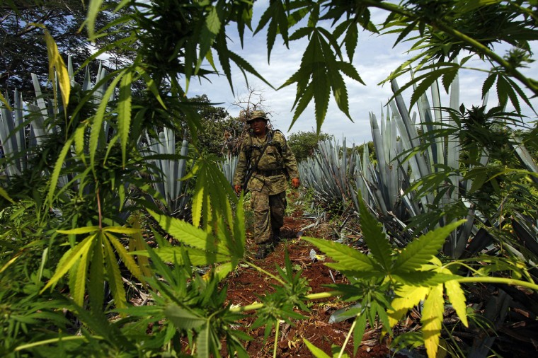 September 27, 2012: A Mexican soldier finds a marijuana plantation amid a field of blue agave - the plant used for the production of tequila - in a field at El Llano, Hostotipaquillo, Jalisco State, Mexico. (Hector Guerrero/AFP/Getty Images)