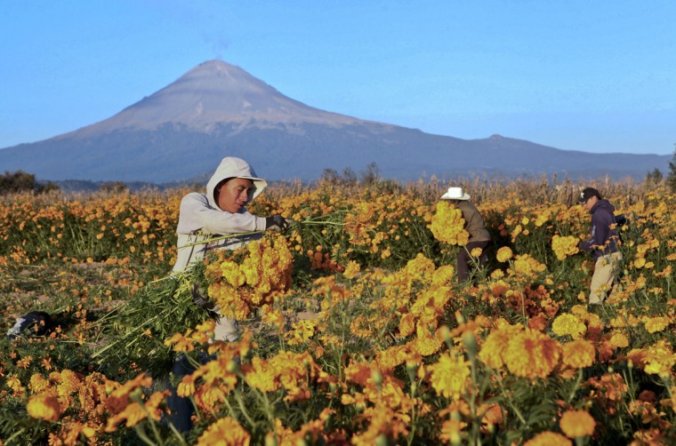 A peasant harvests marigold flowers with the Popoctepetl volcano in tne background, in the fields surrounding Cholula, Puebla state, Mexico, on October 27, 2012. Marigold flowers are used in Mexico to decorate altars during the Day of the Dead, since they are believed to guide the souls. (Jose Castanares/AFP/Getty