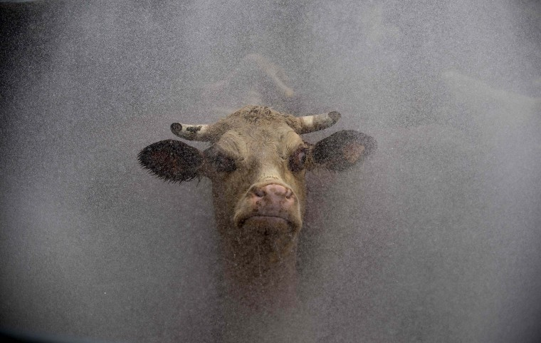 A cow is washed before entering the slaughterhouse of the Frigorifico San Jacinto, one of the most important Uruguayan meat processing plants, in San Jacinto, Canelones during a visit attendants to the Second Global Conference on Agricultural Research for Develpment (2012 GCARD) which is taking place in Punta del Este, 140 km east of Montevideo. (Pablo Porchiuncula/Getty Images)