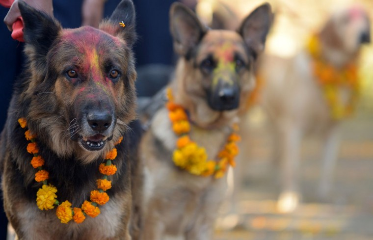 Nepalese police dogs look on after being smeared with vermillion on their foreheads and marigold garlands placed around their necks on the occasion of the Tihar festival in Kathmandu. On Tihar, as the Hindu festival of Diwali is locally known, it is customary in Nepal for people offer blessings to dogs, which are according to Hindu tradition, the messengers of Yamaraj, the god of death. (Prakash Mathema/AFP/Getty Images)