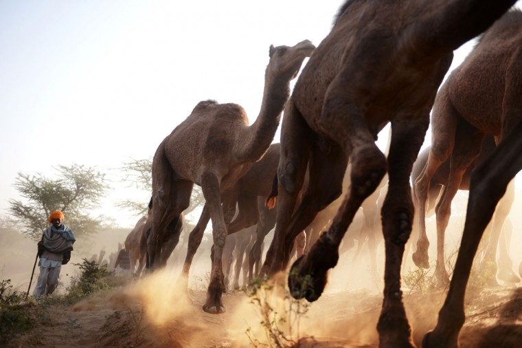 An Indian herder walks with his camels in a sandy path as they near the camel fair grounds in the outskirts of the small town of Pushkar. Thousands of livestock traders from the region come to the traditional camel fair where livestock, mainly camels, are traded. This annual five-day camel and livestock fair is one of the world's largest camel fairs. (Roberto SchmidtAFP/Getty Images)
